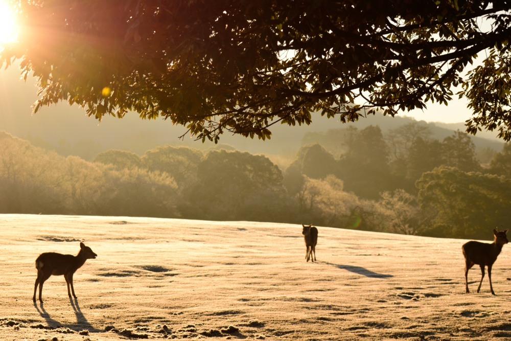 朝の鹿DSC_3960