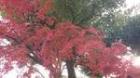 池紅葉11月