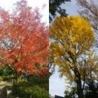 洗足池12月紅葉