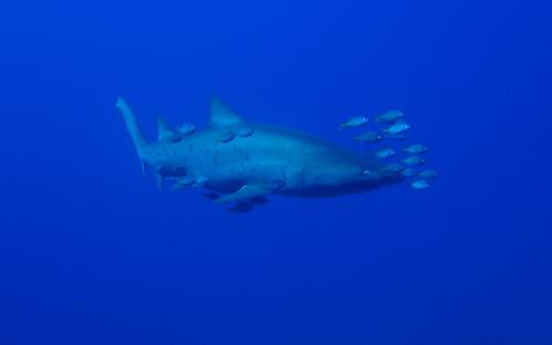 シロワニ_サメ