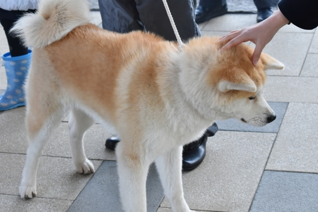 秋田犬201612000000004