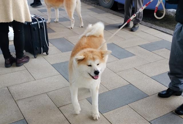 秋田犬201612000000007