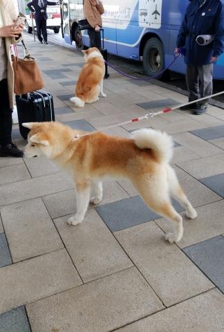 秋田犬201612000000008