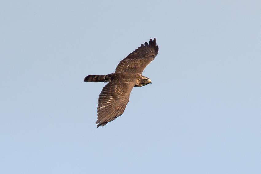 161116サシバ幼鳥1