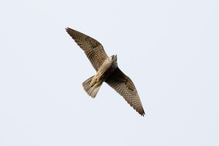 161116ハヤブサ幼鳥1