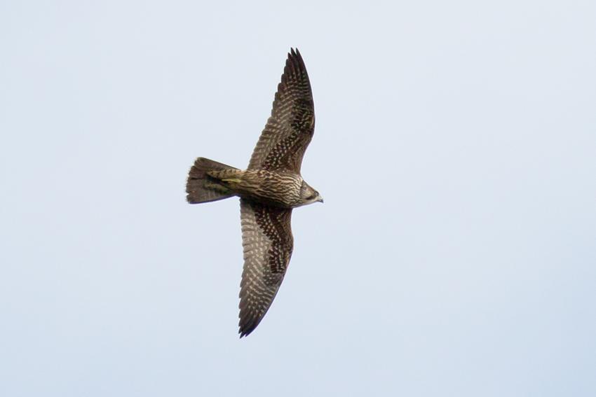 161116ハヤブサ幼鳥2
