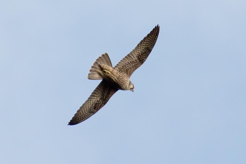161116ハヤブサ幼鳥3