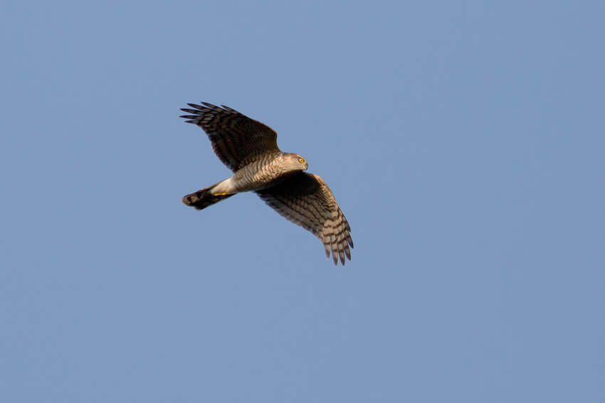 161118ハイタカメス幼鳥1