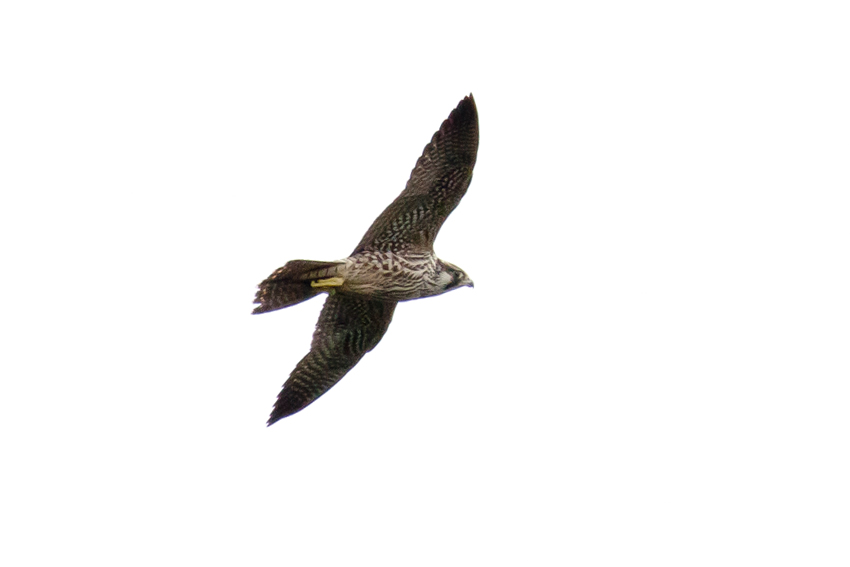 161126ハヤブサ幼鳥
