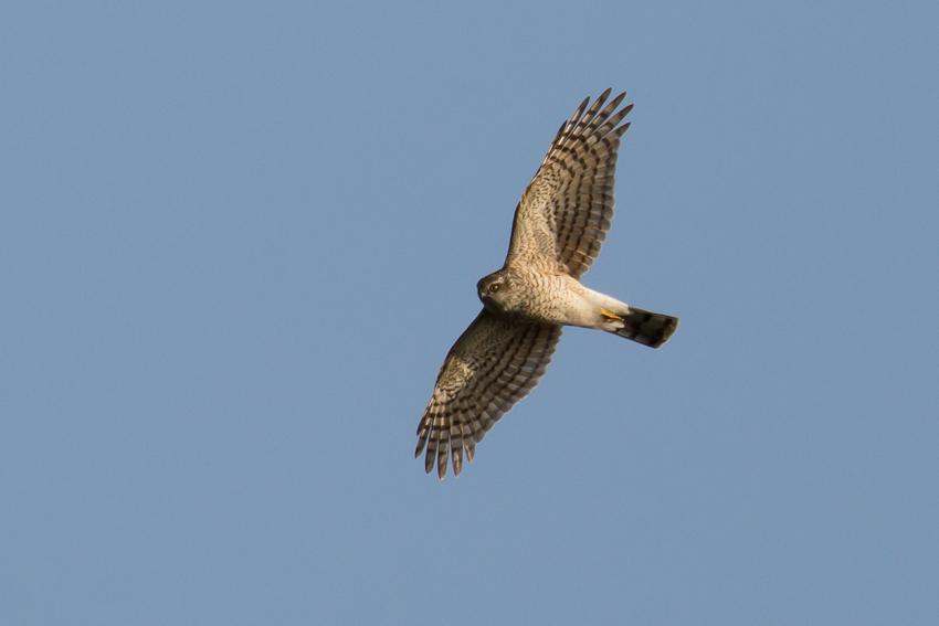 161129ハイタカメス幼鳥3