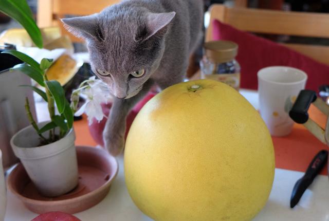 7545 晩白柚とチャチャ 640×430