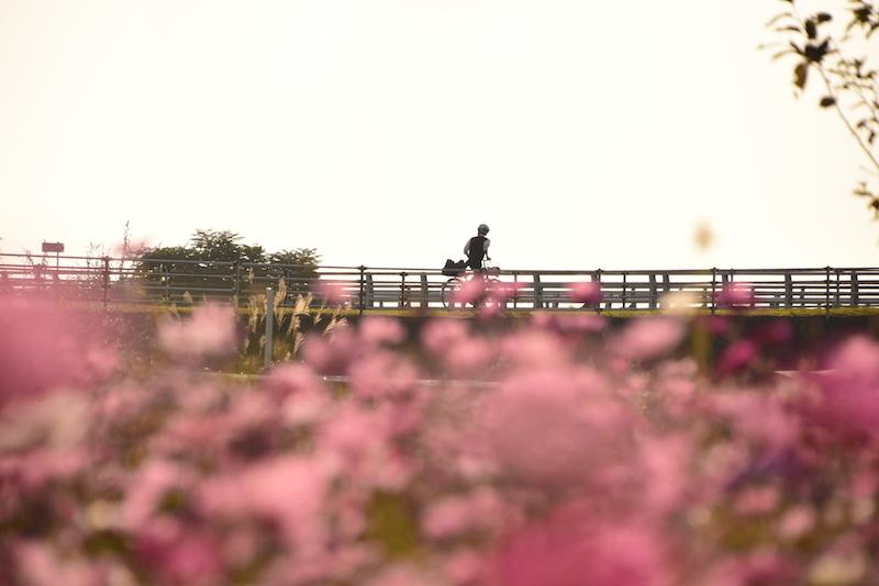 黄昏れ秋桜