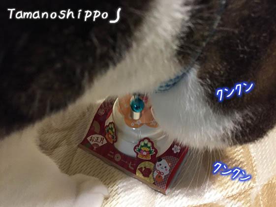 鏡餅に興味深々の猫(ちび)2017