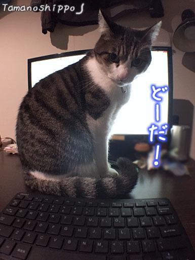パソコンのディスプレイ前で邪魔する猫(ちび)