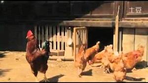 産め産めの鶏