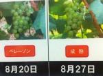 160827 (83)自園自醸紫波ワイン_CHヴェレゾン_完熟