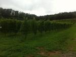160827 (121)自園自醸紫波ワイン_垣根式の畑