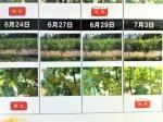 160827 (94)自園自醸紫波ワイン_CS2開花結実