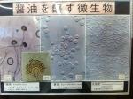 160915 (33)うすくち龍野醤油資料館_醤油をかもす微生物 - コピー