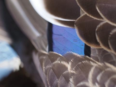 カルガモ翼鏡170103