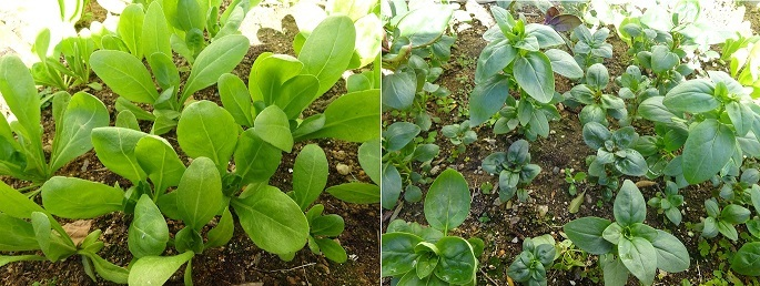 キンセンカと金魚草の成長状況