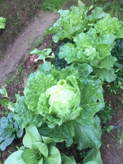 1215ミニ白菜1