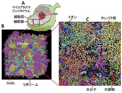 細胞質をコンピューターの中に再構築