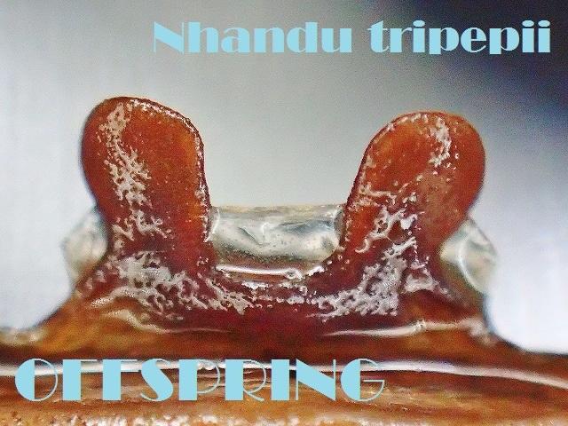 Nhandu tripepii000556