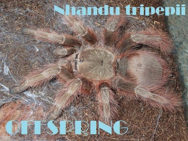 Nhandu tripepii000555