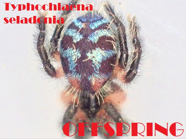 Typhochlaena seladonia 2016120058