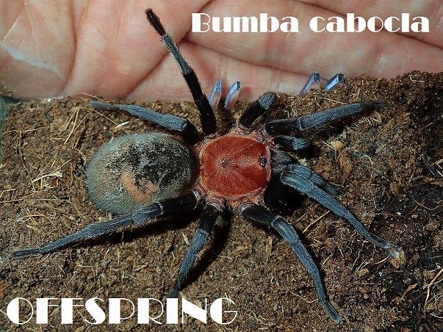 Bumba cabocla00257