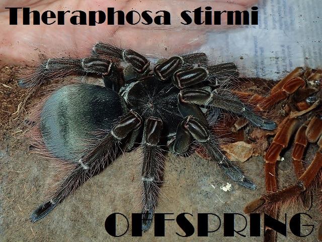Theraphosa stirmi20160015