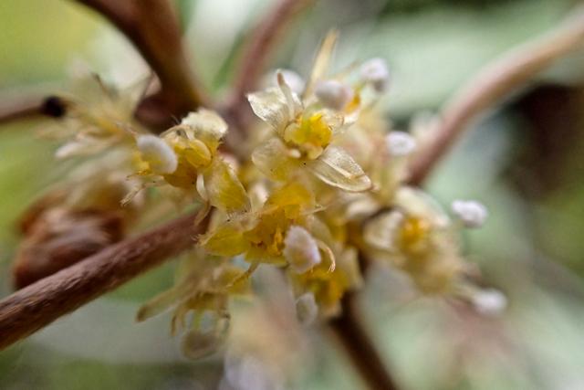 シロダモの花