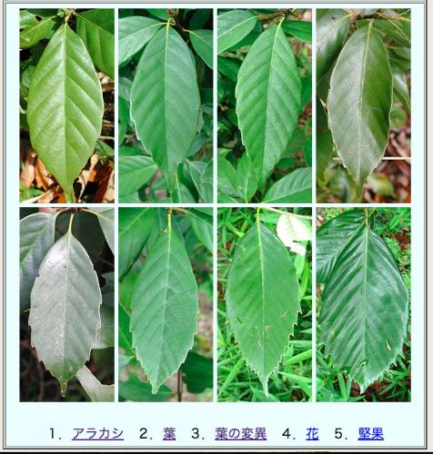 アラカシの葉の変異
