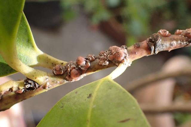 ルビーロウカイガラムシ(シナヒイラギ?雑種)