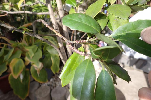 ルビーロウカイガラムシ(シナヒイラギ雑種)