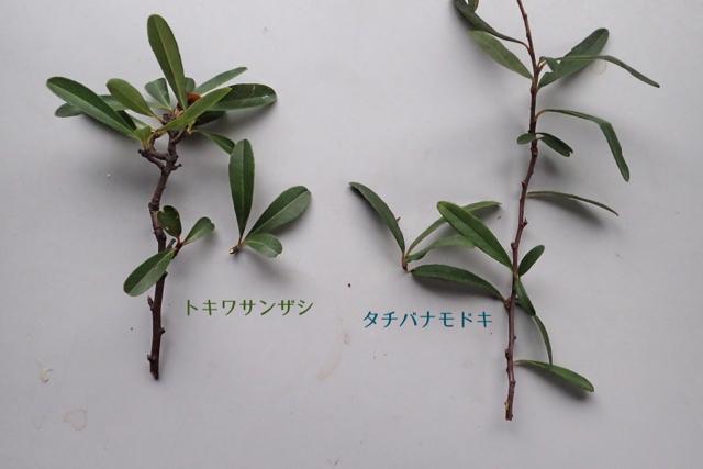 トキワサンザシ-タチバナモドキ