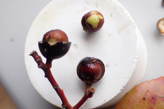 シャリンバイの種