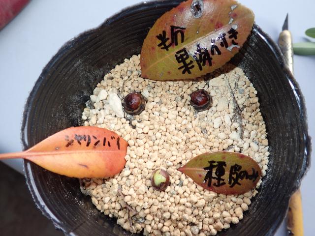 シャリンバイの種(播種)
