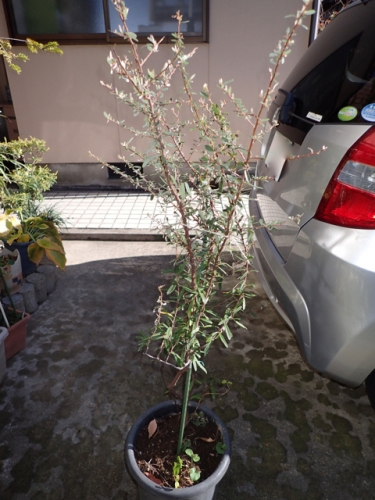 タチバナモドキ樹形