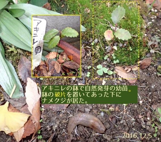 アキニレの自然発芽