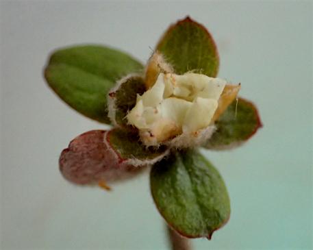 タチバナモドキ花1