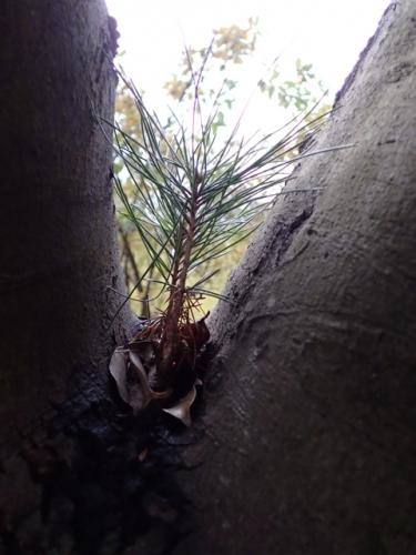 樹上発芽の松