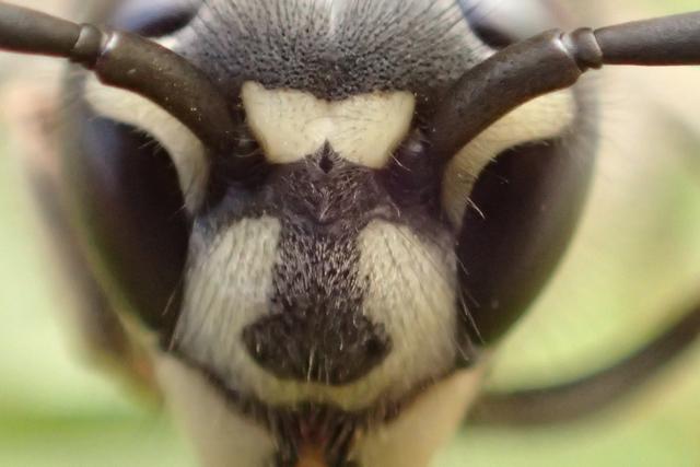 クロスズメバチ2-5