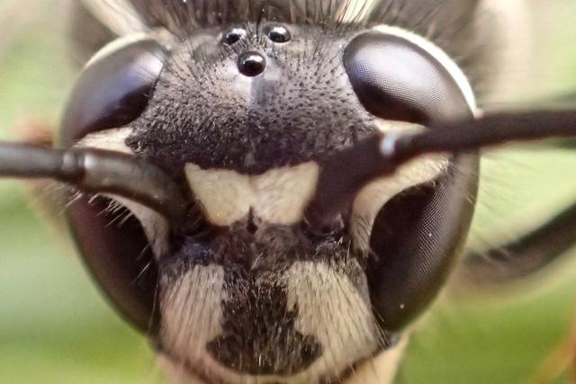 クロスズメバチ3