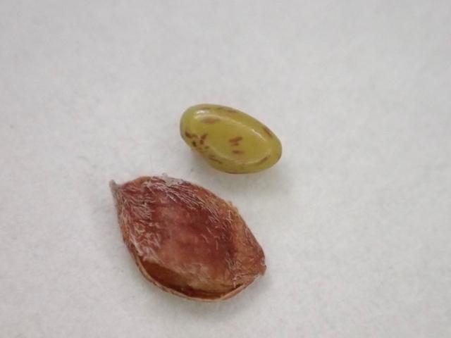 メドハギ種子