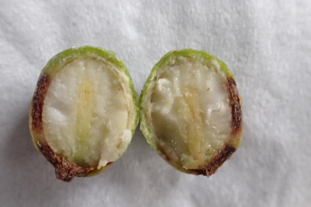 ラカンマキ/イヌマキ種子内部