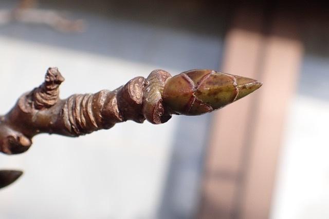 モミジバフウの頂芽