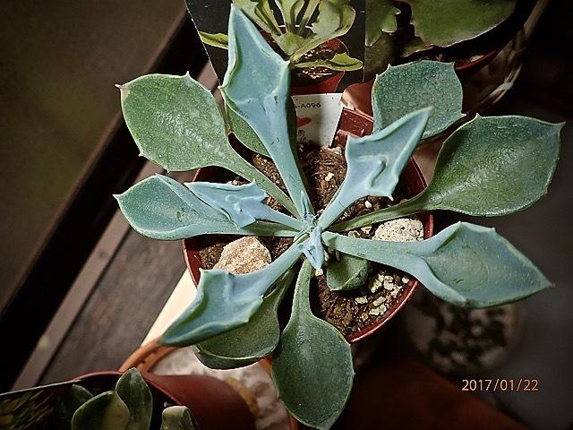 多肉植物(マサイの矢尻)