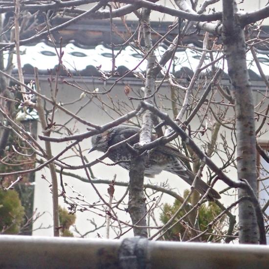 雪の日のヒヨドリ